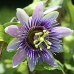 passionflower tea for sleep