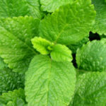 lemon balm relaxing tea